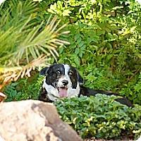Adopt A Pet :: Luna - Tempe, AZ