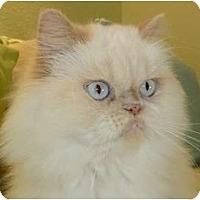 Adopt A Pet :: Fluffy - Beverly Hills, CA