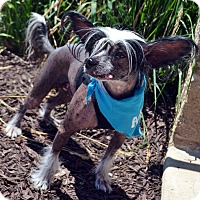 Adopt A Pet :: Colt-Adoption pending - Bridgeton, MO