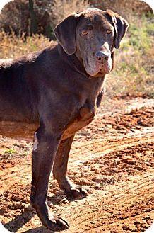 Labrador Retriever/Pointer Mix Dog for adoption in Midland, Texas - Birdie