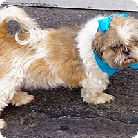 Shih Tzu Mix Dog for adoption in Dartmouth, Massachusetts - Cilantro