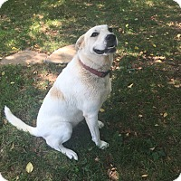 Labrador Retriever/Husky Mix Dog for adoption in Hamburg, Pennsylvania - Daisy