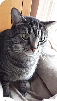 Domestic Shorthair Cat for adoption in Pittsburgh, Pennsylvania - Mio