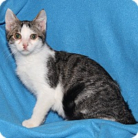 Domestic Shorthair Kitten for adoption in Marietta, Ohio - Leo (Neutered)