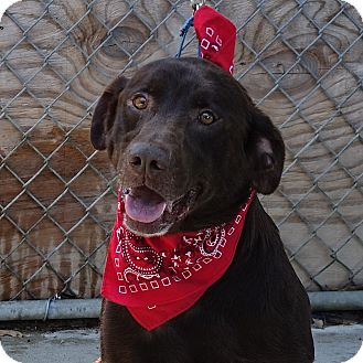 Labrador Retriever Dog for adoption in Columbia, Illinois - Maxx
