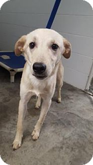 Labrador Retriever Mix Dog for adoption in Paducah, Kentucky - Bubba
