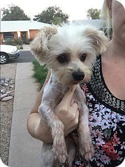 Yorkie, Yorkshire Terrier/Maltese Mix Dog for adoption in Phoenix, Arizona - Ronny