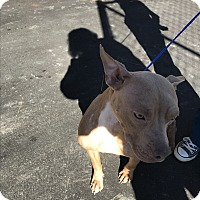 Pit Bull Terrier Mix Dog for adoption in Henderson, North Carolina - Amber