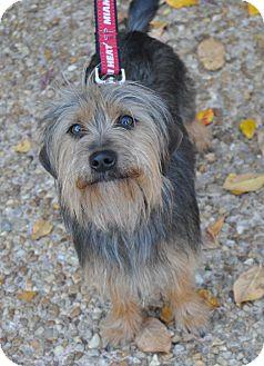 Yorkie, Yorkshire Terrier Mix Dog for adoption in Atlanta, Georgia - Baxter