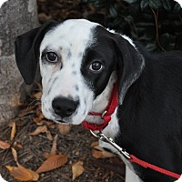 Adopt A Pet :: Brandy - Atlanta, GA