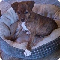 Terrier (Unknown Type, Medium) Mix Puppy for adoption in Fishers, Indiana - Tanya