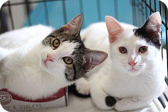 Domestic Shorthair Kitten for adoption in Richmond, Virginia - Rocky & Owen
