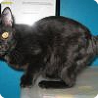 Domestic Shorthair Cat for adoption in Powell, Ohio - Nelly