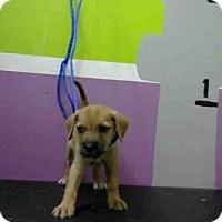 Adopt A Pet :: A1438392 - Houston, TX