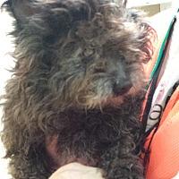 Adopt A Pet :: Bul - Westminster, CA
