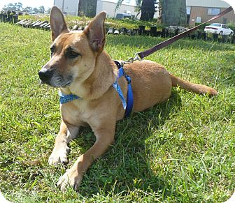 German Shepherd Dog Mix Dog for adoption in Graceville, Florida - Goldie III
