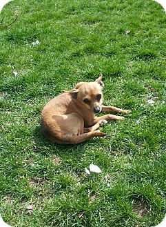 Chihuahua Mix Dog for adoption in Ogden, Utah - Punkin