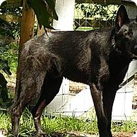 German Shepherd Dog Mix Dog for adoption in Orlando, Florida - Wolf Dog - Bentley
