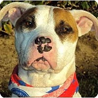 American Pit Bull Terrier/Bull Terrier Mix Dog for adoption in Burbank, California - Maxine - PLS READ STORY
