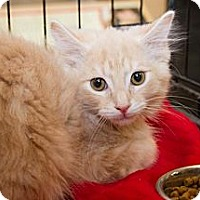 Adopt A Pet :: Creamsicle - Irvine, CA