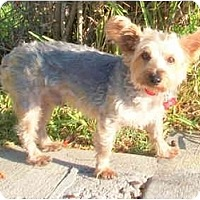 Adopt A Pet :: Maverick - Gulfport, FL