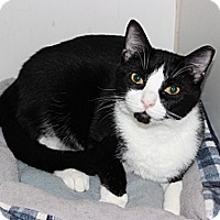 Domestic Shorthair Kitten for adoption in Secaucus, New Jersey - Raptor