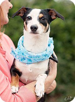 Kingwood, TX - Jack Russell Terrier/Dachshund Mix. Meet ...