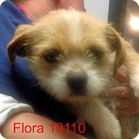 Adopt A Pet :: Flora - baltimore, MD