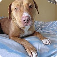 Adopt A Pet :: Shorty - Ridgway, CO
