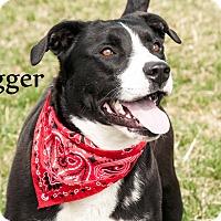 Adopt A Pet :: Trigger - Hamilton, MT
