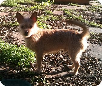 Terrier (Unknown Type, Small)/Chihuahua Mix Dog for adoption in San Francisco, California - Cocoa