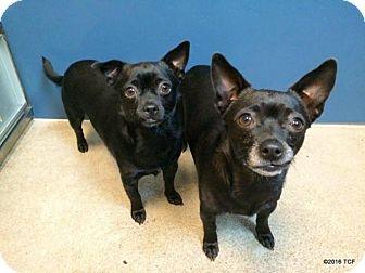Chihuahua Mix Dog for adoption in Bellingham, Washington - Joy