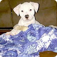 Adopt A Pet :: Pina Colada - Indianapolis, IN