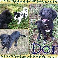 Adopt A Pet :: Dori - Washington, DC