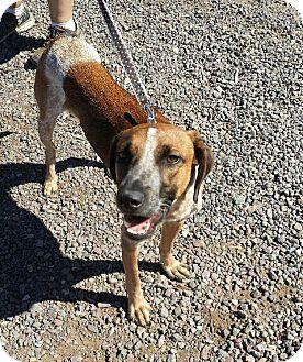 Hound (Unknown Type)/Australian Cattle Dog Mix Dog for adoption in Apache Junction, Arizona - Arrow
