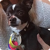 Chihuahua/Boston Terrier Mix Dog for adoption in Denver, Colorado - Vinny