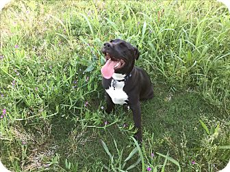 Labrador Retriever/Pit Bull Terrier Mix Dog for adoption in Dallas, Texas - Charlie