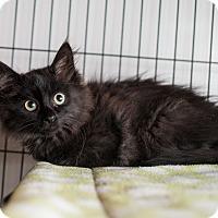 Adopt A Pet :: Sputter - Shelton, WA