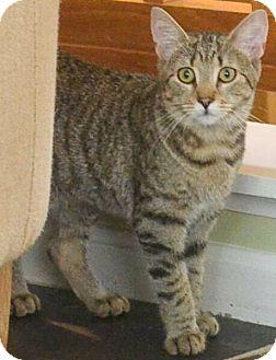 Domestic Shorthair Kitten for adoption in Reston, Virginia - Valkyrie