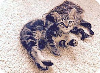 Domestic Shorthair Kitten for adoption in Denver, Colorado - Sam
