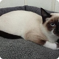 Domestic Shorthair Kitten for adoption in Lathrop, California - Willow