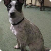 Australian Cattle Dog/Australian Cattle Dog Mix Dog for adoption in Von Ormy, Texas - Roxie