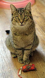 Domestic Shorthair Cat for adoption in Portland, Oregon - Audrey