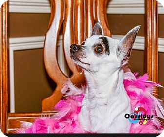Chihuahua Dog for adoption in Matthews, North Carolina - Zelos