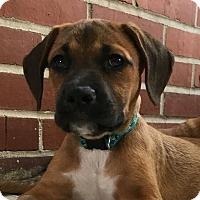 Adopt A Pet :: Carolina - Gainesville, FL