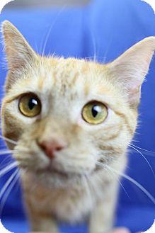 Domestic Shorthair Cat for adoption in Winston-Salem, North Carolina - Penn