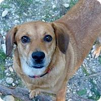 Adopt A Pet :: Bambi - Bowie, MD