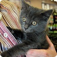 Russian Blue Kitten for adoption in Richmond, Virginia - Charlotte
