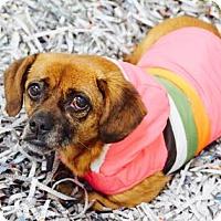 Adopt A Pet :: Caroline - Atlanta, GA