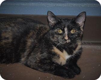 Domestic Shorthair Cat for adoption in Wilmington, Ohio - Kera